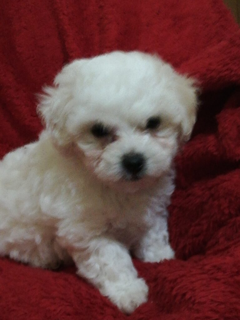 bichons_bolognese_dogs_show